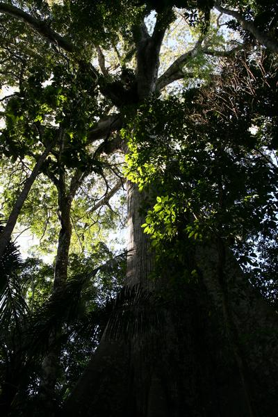 Kapok Tree in Amazon Rainforest 998bis